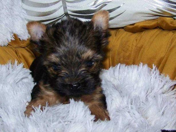 Yorkshire terrier mała dziewczynka