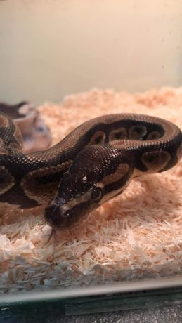 Wąż królewski wraz z terrarium