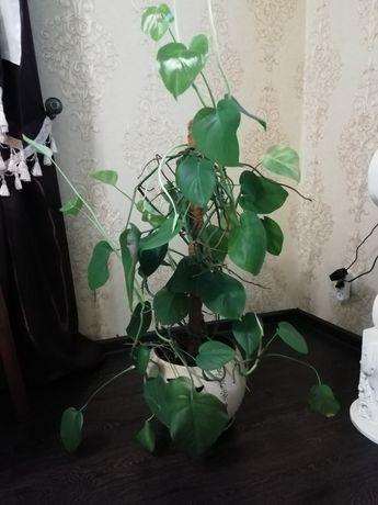 Монстера, комнатное растение