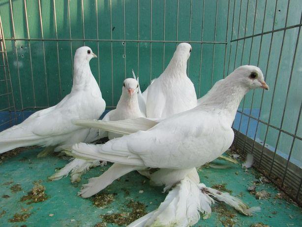 bij, bije, gołębie ozdobne