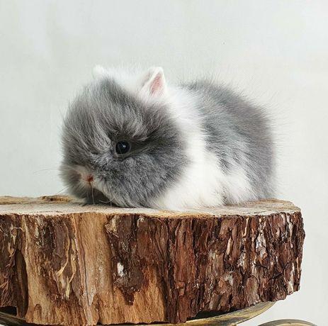 Karzełki Teddy rasa długowosa! króliczki Gotowe do odbioru