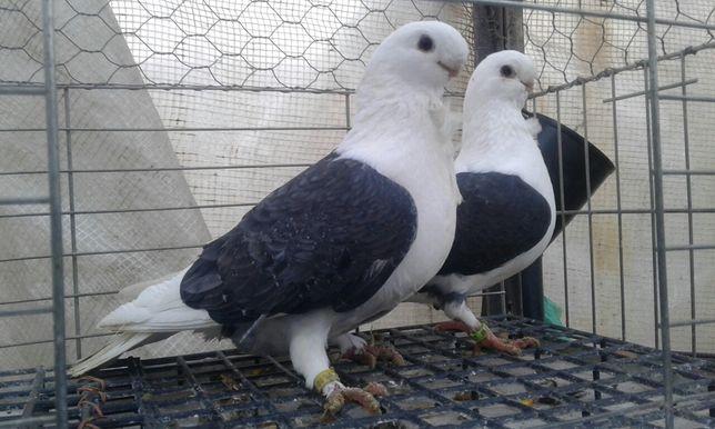 Mewka niemiecka mewki ptaki gołębie ozdobne