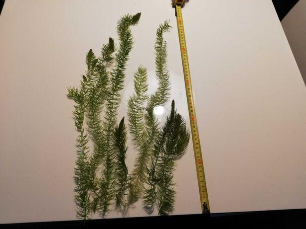 Roślina Akwariowa Rogatek Sztywny