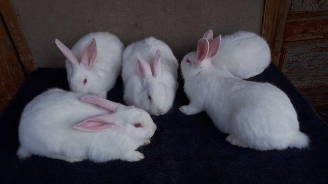 Кролики панон білий
