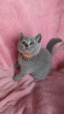 Benitta kotka brytyjska-prawdziwy rodowód FIFE