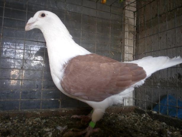 Gołębie Samiec Śląski Tarczowy Czerwony Wysyłka