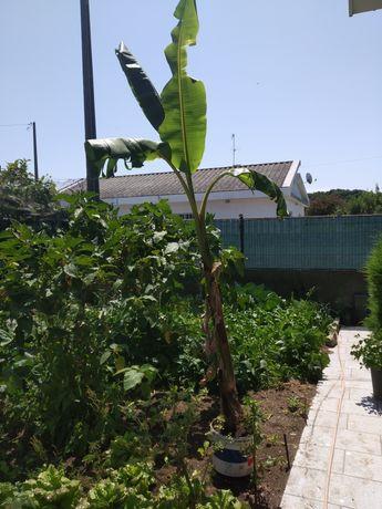 Bananeira  com 3 metros