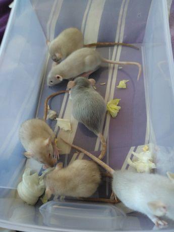 Młode Szczurki Dumbo Rasowe
