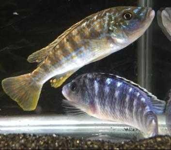 Pyszczak - melanochromis  exasperatus 3,5-4cm. wysyłam