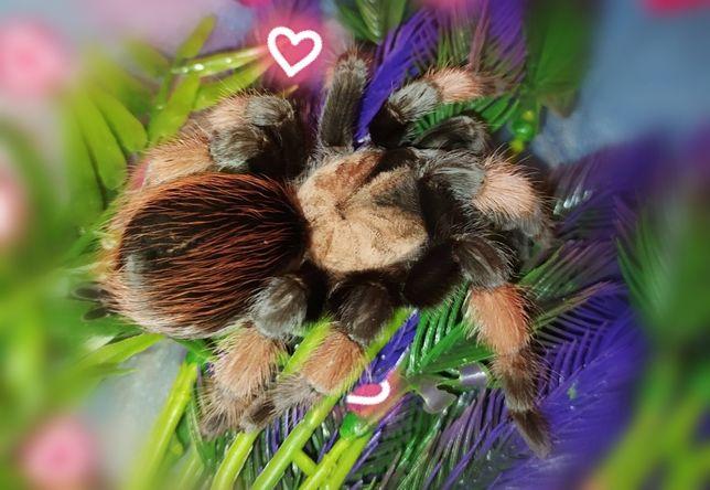 Паук Эмилия , яркий красивый для начинающих Brachypelma emilia