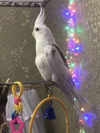 Попугай карелло безщекий
