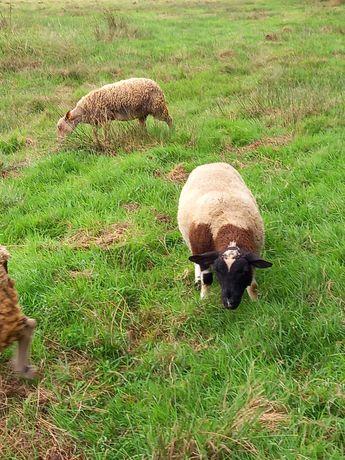 Borregos  / carneiros