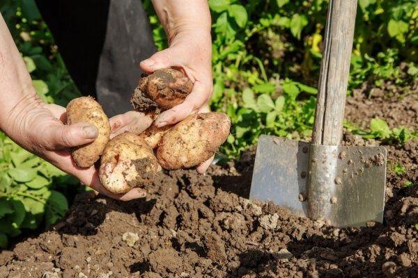 Ziemniaki catania świeżo kopane