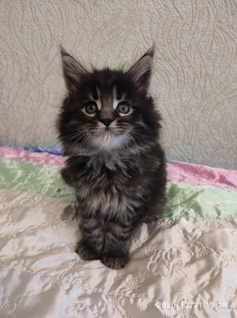 Роскошные котята Мейн кун есть ДОСТАВКА