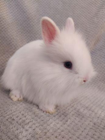 Królik miniaturka , króliki miniaturki