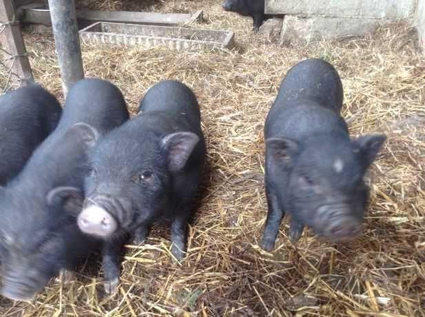 Porcos Pretos Pequenos