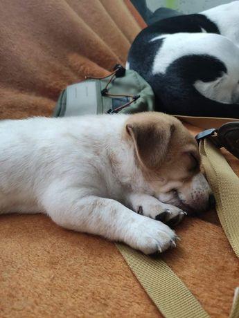 Szczeniaczki Jack Russell Terrier x Black Mouth Cur