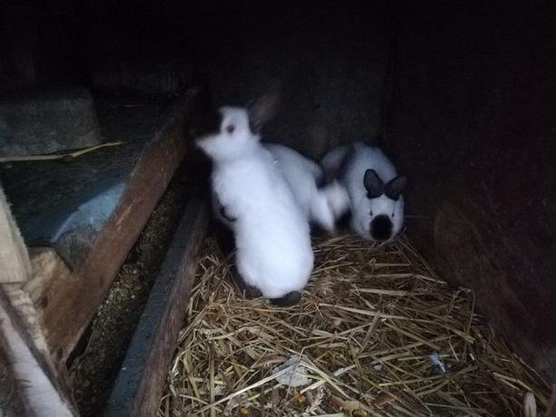 sprzedam mlode króliki samiczki kalifornijskie
