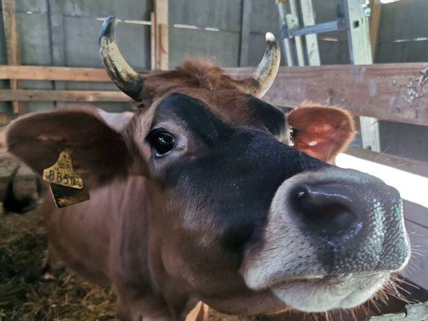 Mleko krowie od krowy Jersey