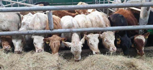 byczki jałówki mieszańce mięsne Limousin Hereford Angus do chowu