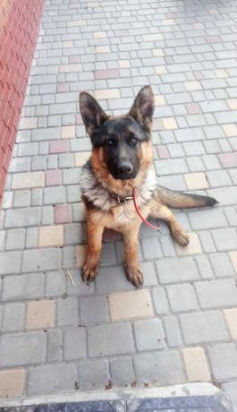 Подросший щенок немецкой овчарки