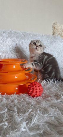 Мраморные шотлландские котята Киев