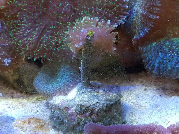 Koralowce morskie akwarium szczepki korali