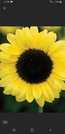 Kwiat słonecznika