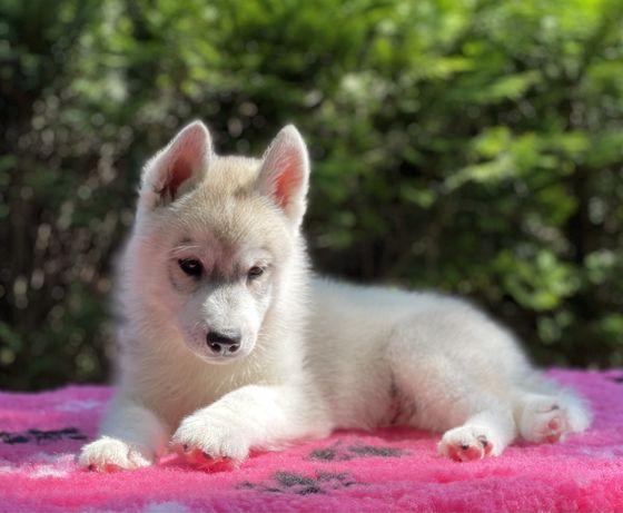 Piękny piesek Siberian Husky / Hodowla Husky ZKwP & FCI od 1994 roku