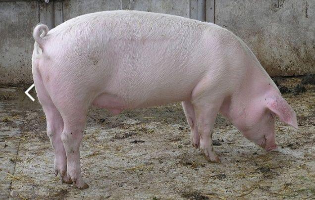 Продам свині живою вагою110-150кг. Степашки - изображение 1