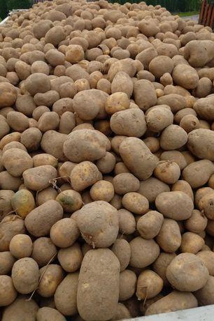 Ziemniaki paszowe 0,40 gr kg