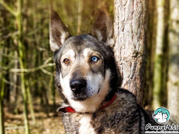 Piękny, aktywny pies Floki w typie husky poleca się do adopcji!