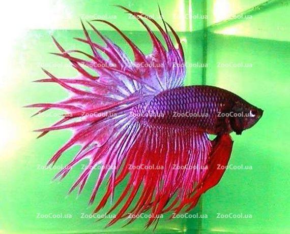 Рыбка петушок СЕЛЕКЦИОННЫЙ КОРОНА (Betta splendens), рыбки в аквариум
