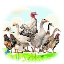 Продам бройлеры,  гуси крупных пород,  мясояичные курчата (Венгрия)  O