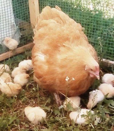 Цыплята мясо-яичной породы Орпингтон. Брусилов.