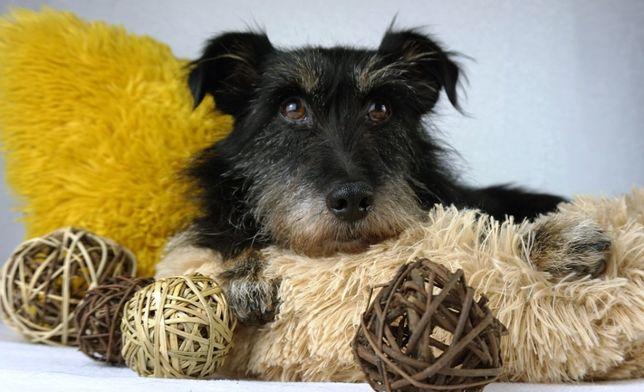 PEPE – mały psiak w typie teriera szuka domu.