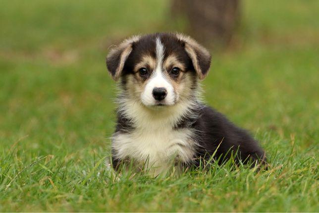 Красивые щенки вельш корги пемброк