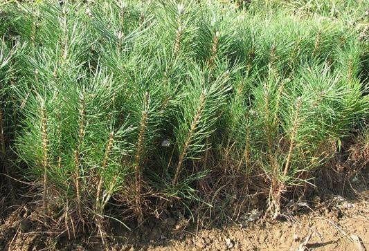 Sosna sadzonki sosny CZERNIKOWO 40 gr 1sz 2 letnia