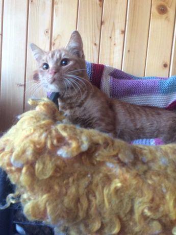 Рыжий котик-подросток,5 мес.