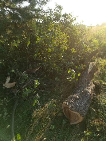 Oddam drzewo z jabłoni zwanian za uprzątnięcie