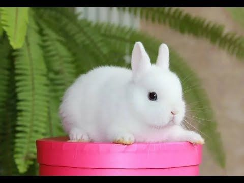 Кролік декоративний