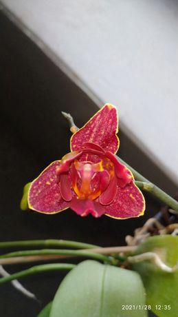 Продам орхидею пелорик чери бомб