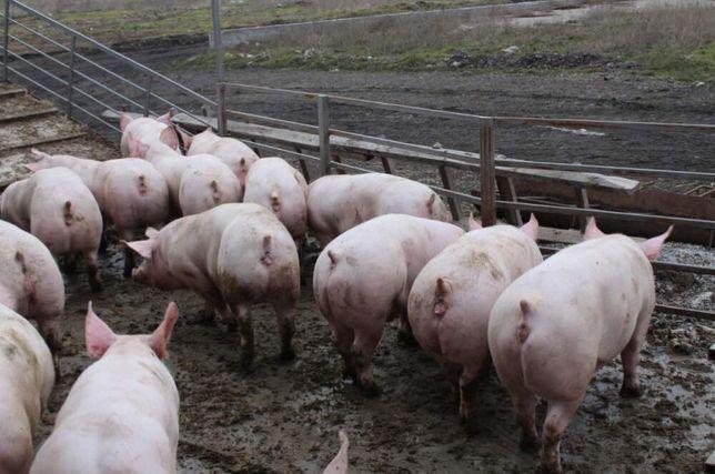 Продам Свиней Живым весом мясных пород