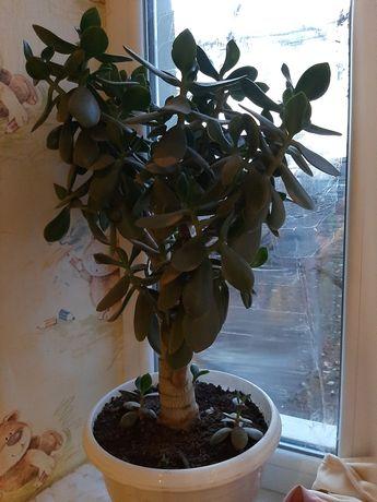 Продам денежное дерево