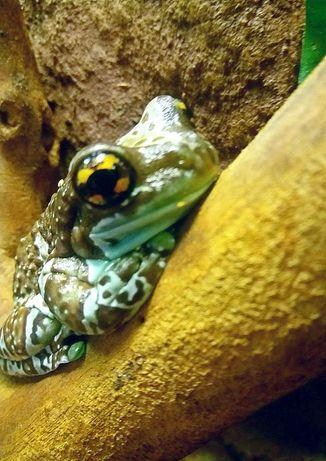 Лягушка голубовато-шоколадного цвета квакша Малыши Фото цены реальные