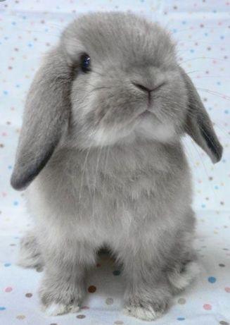 Adoção coelho mini lop
