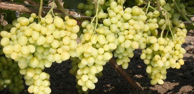 Продам саженцы винограда Супер Экстра