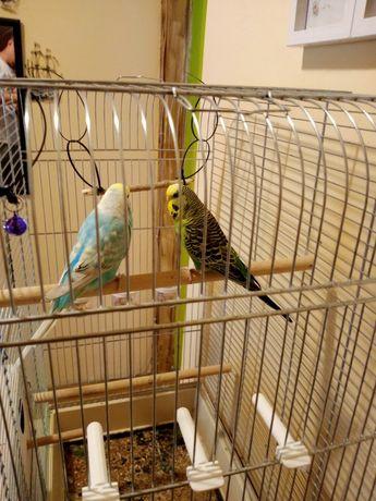 Para papug falistych z klatką