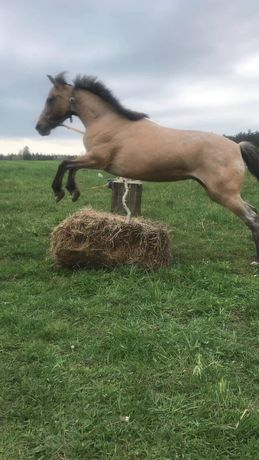 Kucka , klacz , konie