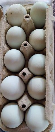 błękitne jajka lęgowe araucana bezogoniasta ...